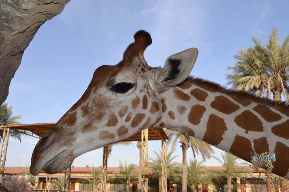 giraffe emirates park resort