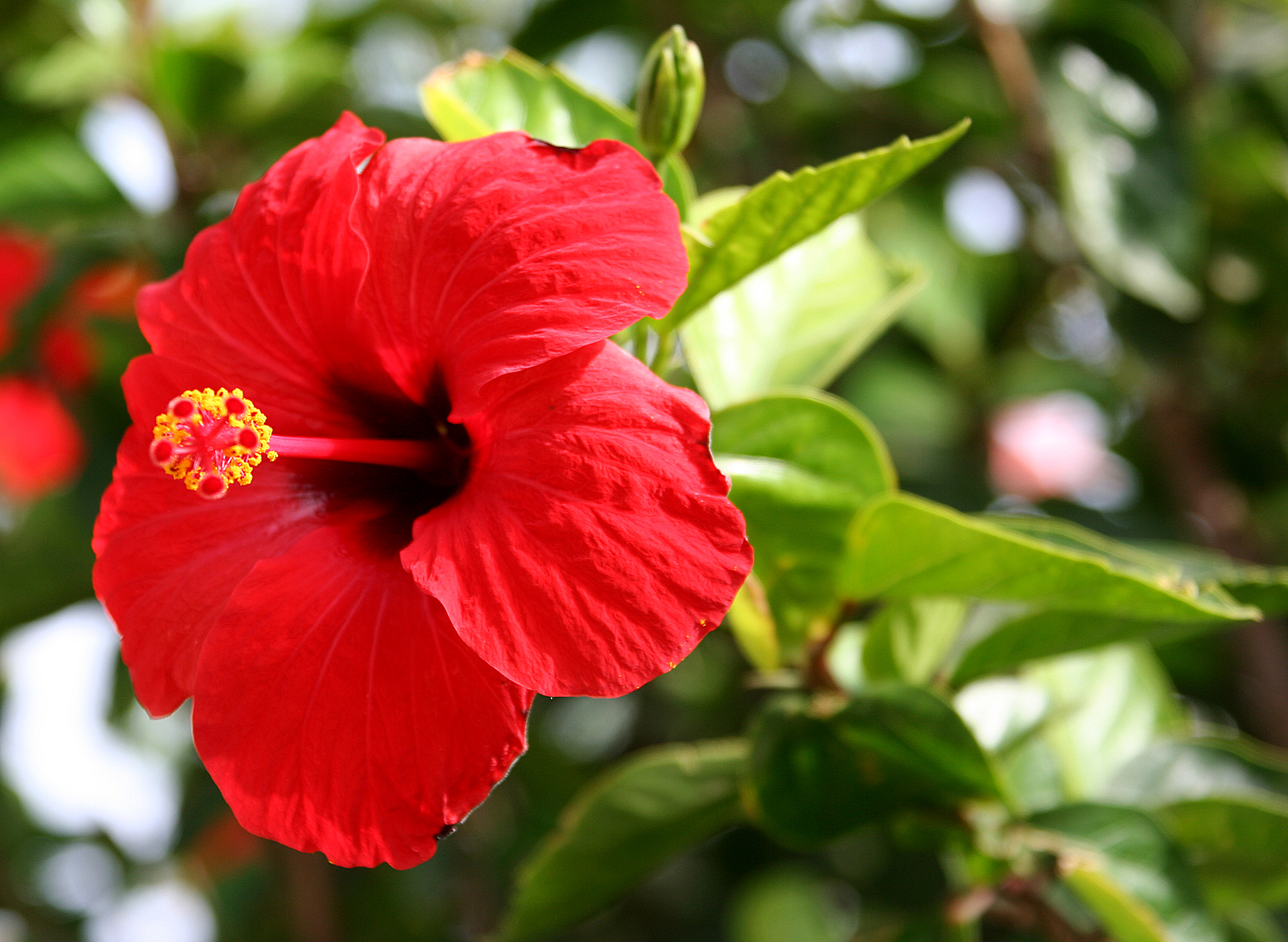 Hibiscus Tea A Treasure Trove Of Healthful Benefits The Tezzy Files