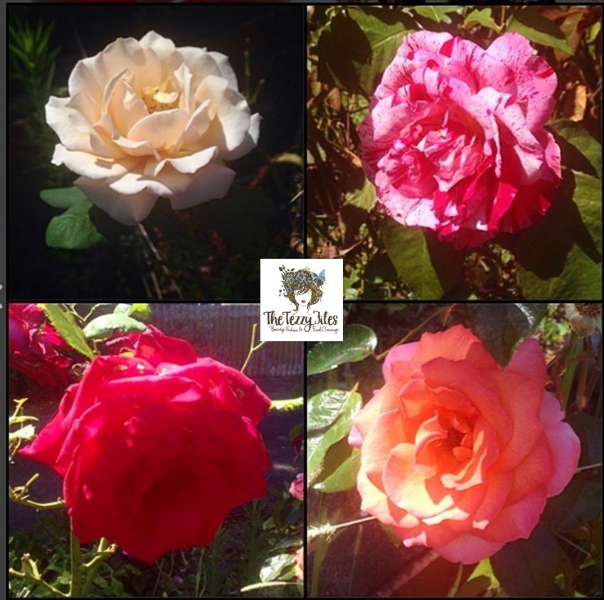 palmerston north rose garden Dugald Mackenzie Rose Garden2