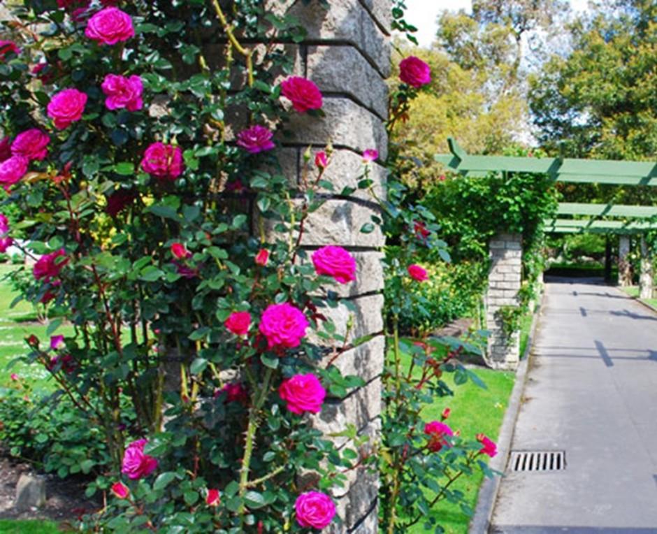 palmerston north rose garden Dugald Mackenzie Rose Garden3