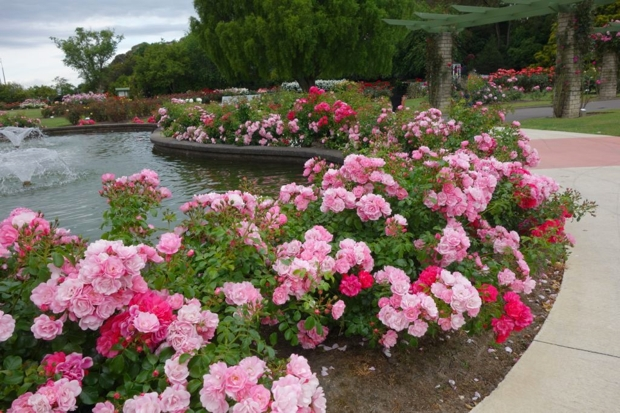 Palmerston-North-Rose garden